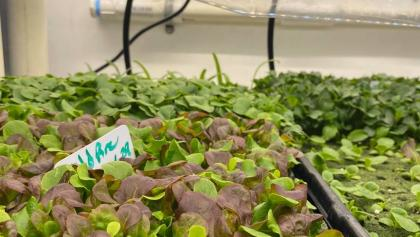 rows of growing plants from the article Why this First Nation bought a shipping container during COVID-19